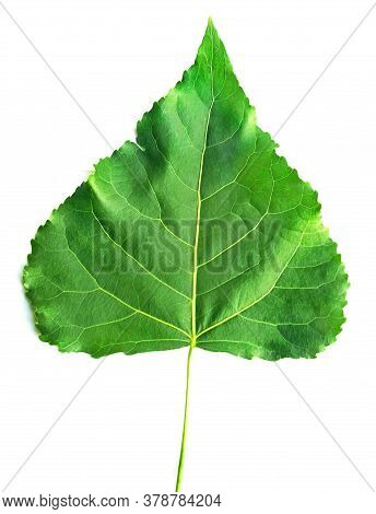 Green Leaf Of Poplar Close Up Isolated On White Background