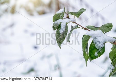 Green Leaves In Early Autumn Covered With Snow. First Snow On The Green Leaves In Autumn. Symbol Of