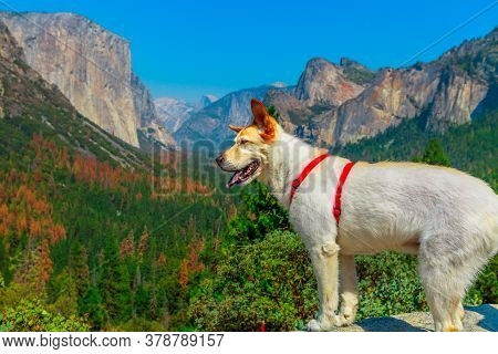 White Dog Looking The Panorama At El Capitan Tunnel View Overlook In Yosemite National Park, Califor