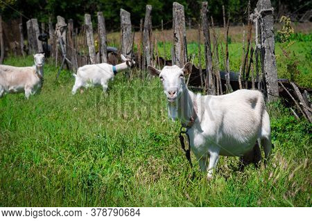 Two White Goats On A Leash With Collars Graze Next To A Rural Fence On Green Grass On A Sunny Day. C