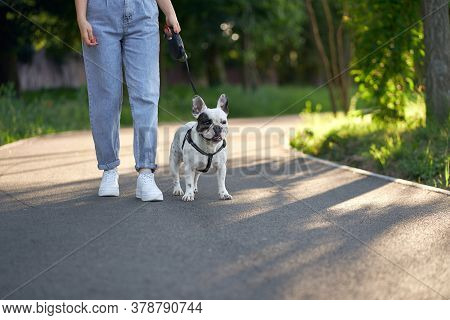 Front View Of Cute Male French Bulldog Walking And Looking Aside. Unrecognizable Female Owner Holdin