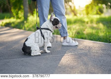 Side View Of Cute Male French Bulldog Sitting On Road And Having Rest In Sunny Day. Unrecognizable F