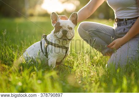 Side View Of White And Brown French Bulldog Sitting On Grass In Park And Looking At Camera. Unrecogn