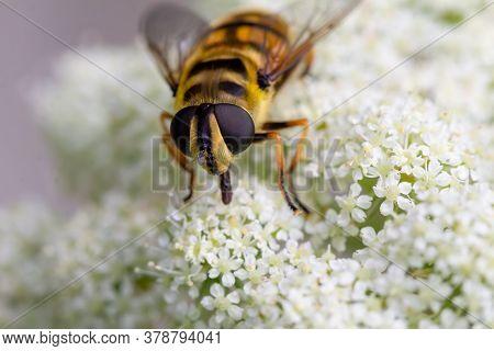 Close Up Of A Honey Bee, Apis Mellifera, On A White Flowering Carrot Plant, Daucus Carota