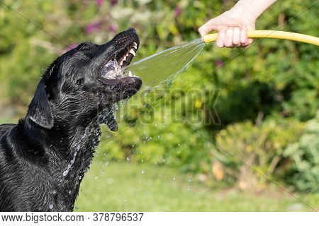 Portrait Of A Silly Black Labrador Trying To Drink Water From A Garden Hose