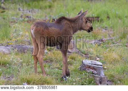 Colorado Moose Living In The Wild. Moose Calf.