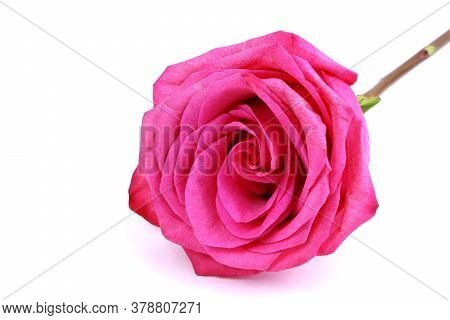 A Red Rose Isolated On White Background. Red Flowers Isolated. Gardening. Blossom Flowers. Flowers O