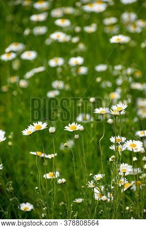 Botanical Collection Of Medicinal Plants, Chamaemelum Nobile Or Roman Chamomile, English Or Garden C