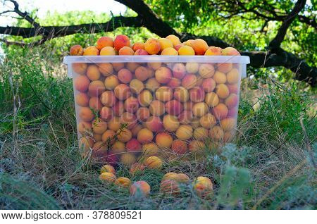 Freshly Assembled Ripe Red-yellow Apricots In The Plastic Crate In The Garden Closeup. During Harves