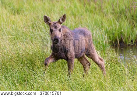 Colorado Moose Living In The Wild. Moose Calf At A Watering Hole.