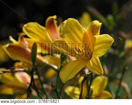 Closeup Of Bright Yellow Hemerocallis Daylily Flowers And Buds In A Garden