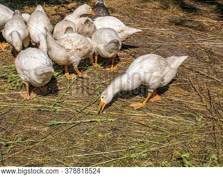 White Geese Eat Grass On The Farm.