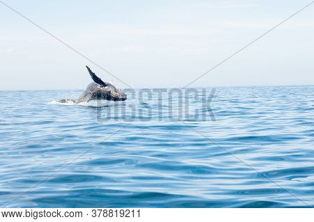 Humback Whale Breaching From The Ocean In The Pacific Ocean Off The Coast Of Cabo San Lucas Mexico