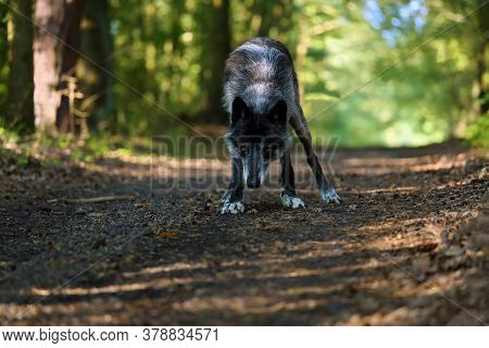 The Northwestern Wolf (canis Lupus Occidentalis) Standing On The Road And Looking Directly Into The