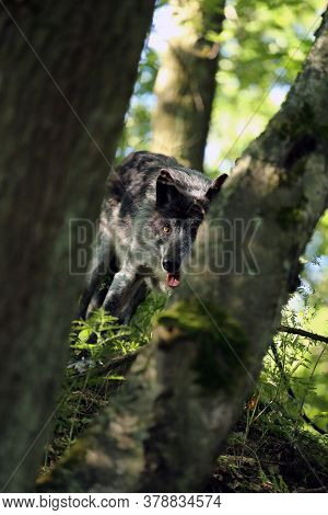 The Northwestern Wolf (canis Lupus Occidentalis) Standing In A Forest Hidden Behind Trees And Peekin