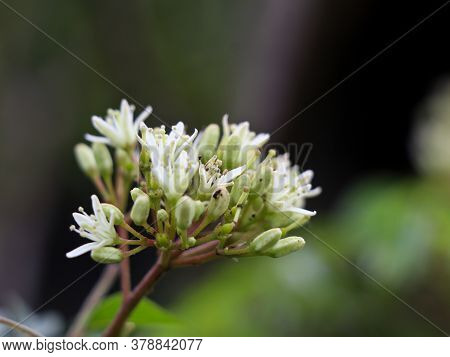 Flower Of Murraya Koenigii Or Curry Tree .murraya Koenigii Is A Tropical Tree Which Produces An Arom