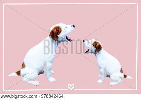 Cute  Puppy,  Jack Russell Terrier Puppy On Pink Background.