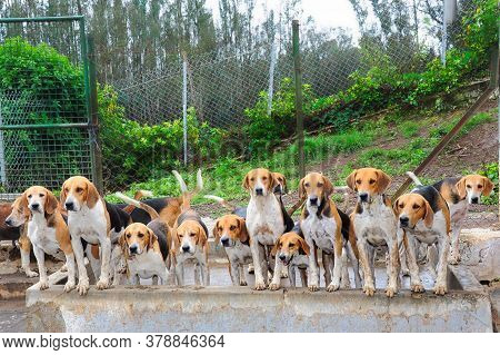 Ooty, Tamil Nadu, India. Circa June 2018. A Group Of Beagle Dogs Pose For A Photo In A Dog Training