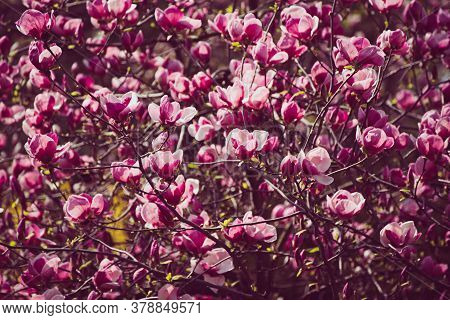 Blossoming Of Pink Magnolia Flowers In Spring Time, Floral Natural Seasonal Background