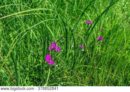 Blooming Stems Of Wild Dianthus Pratensis (or Dianthus Campestris) On The Background Of Meadow Grass
