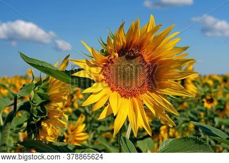 Sunflower With A Bee On The Field Against The Blue Sky