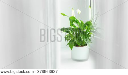 Spathiphyllum Flower Growing In A Pot In The Home Room And Purifying Indoor Air.