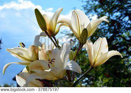 White Lily Flowers Close-up In The Sun Against The Blue Sky. Beautiful Summer Landscape. Flowering S
