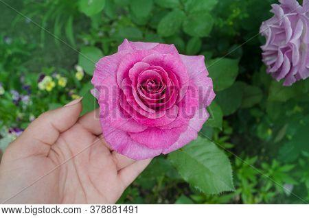 Pink Rose Bush In English Garden. Pink Rose Background. Rose Princess Alexandra Of Kent