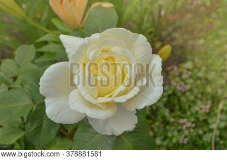 Bush Of White Roses. White Rose Flowers. White Rose Elina.