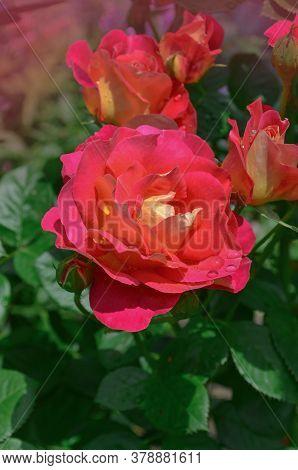 Blooming Red Rose Circus. Red Flowering Rosa.