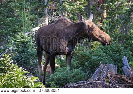 Colorado Moose Living In The Wild. Cow Moose In The Forest