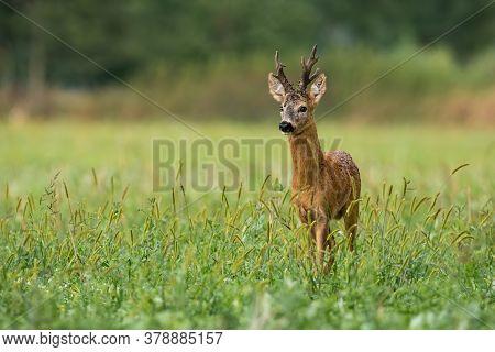 Vital Roe Deer Buck Standing On Meadow In Summer Nature.