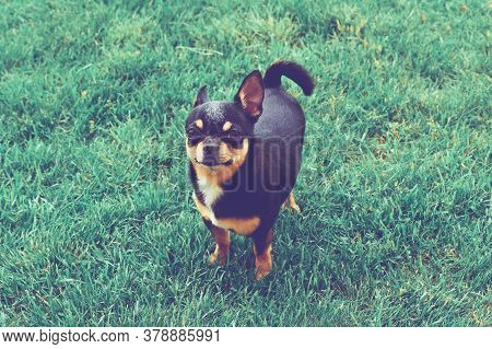 Chihuahua Dog On Grass. Small Dog. Chihuahua Dog For A Walk. Chihuahua Black, Brown And White. Cute