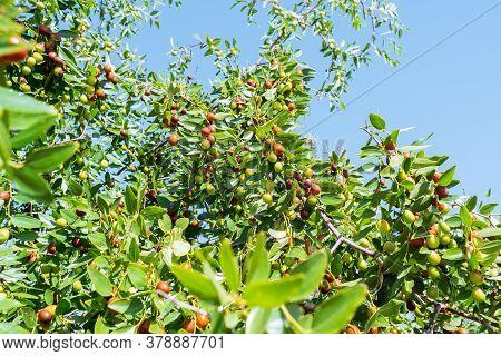 Ziziphus Mauritiana Chinese Date, Ber, Marmalade, Indian Plum Tropical Fruit Tree. The Cultivation O