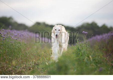 Portrait Of Young And Happy Beige Dog Breed Russian Borzoi Running In The Violet Flowers Field In Su