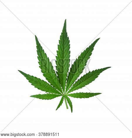 Beautiful Real Leaf Of Marijuana, Cannabis Isolated On White Background With Shadow. Cannabis Backdr