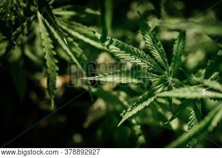 Growing Organic Cannabis Background Herb On The Farm. Marijuana Leaves Cannabis Plants A Beautiful B