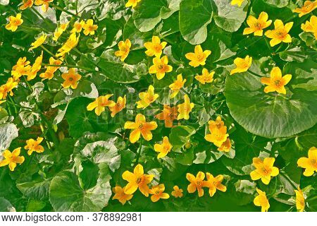Summer Landscape. Yellow Flowers Of Marsh Marigold. Floral Background