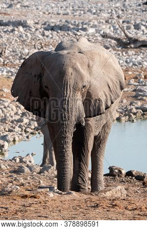 White Etosha Elephant Standing At Okaukuejo Waterhole, Namibia, A Single, Solitary, Lone, Rogue Afri