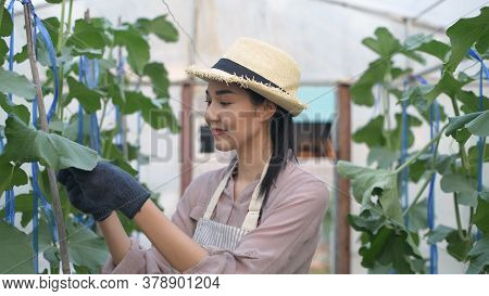 Agricultural Concepts. Asian Woman Examining Plants In The Garden. 4k Resolution.