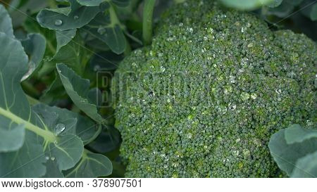 Cauliflower Plant With Young Cauliflower Head. Brassica Oleracea. Water Drops On Cabbage. Close-up.