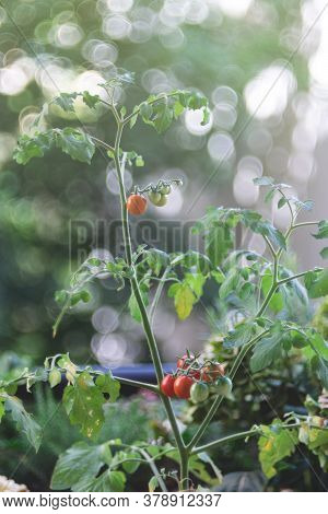 Fresh Harvested Ripe Red Tomatoes Close Up Selective Focus