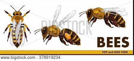 Honey Bees. Realistic But Simple Style. Flat. Top View And Side View. Flying Bee With Nectar. Set. I