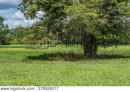 A Large Majestic Tree Partial View Growing By Itself In The Open Field Casting A Big Shadow Undernea