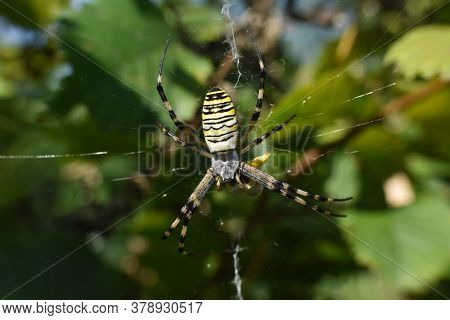 Wasp Spider On The Web. Big Green Spider In His Web