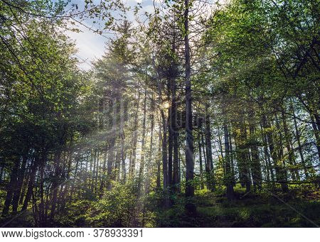 Bielsko Biala, South Poland: Sunrise Sunset Rays Penetrating Through Tall Trees In The Forest Locate