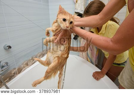 Wet Bathed Red Cat Held Over Bathtub