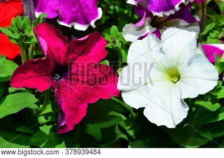 The Natural Background Consists Of Two Petunia Flowers Of Different Colors.