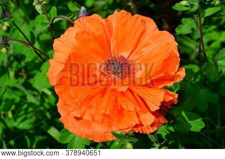 Red Poppy Flower On A Background Of Rich Vegetation.