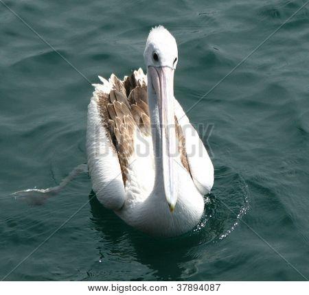 Australian pelican Pelecanus conspicillatus swimming